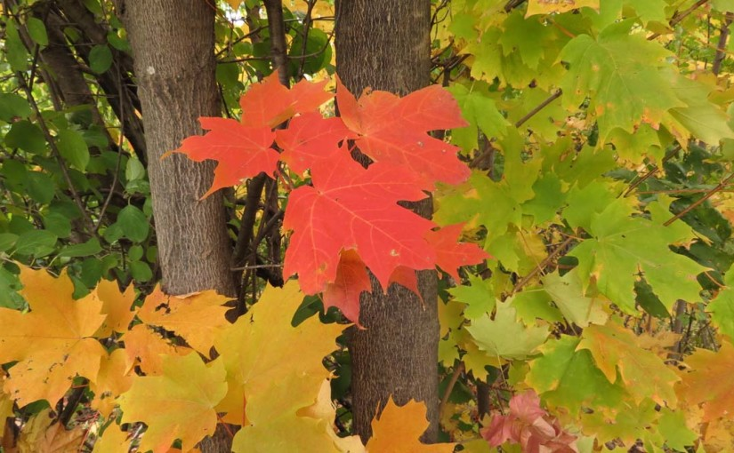 Bilde av Red Maples Leaf
