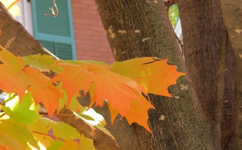 Maple Tree in Orange