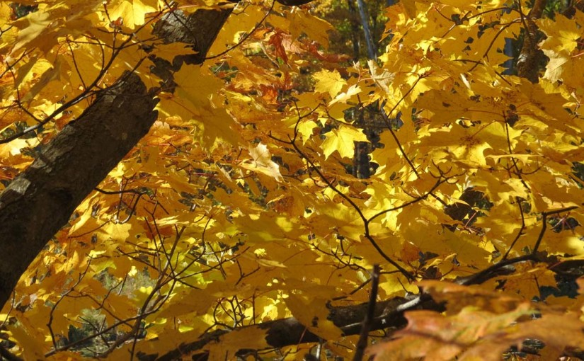 Maples Yellow Image