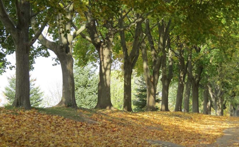 Maple Tree Landscape