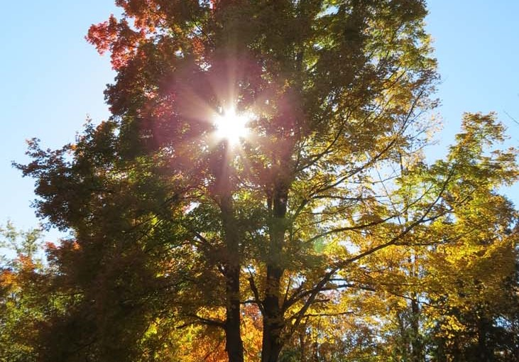 شجرة القيقب الغروب