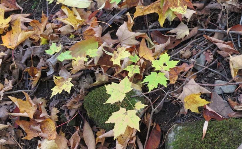 Maple Trees New