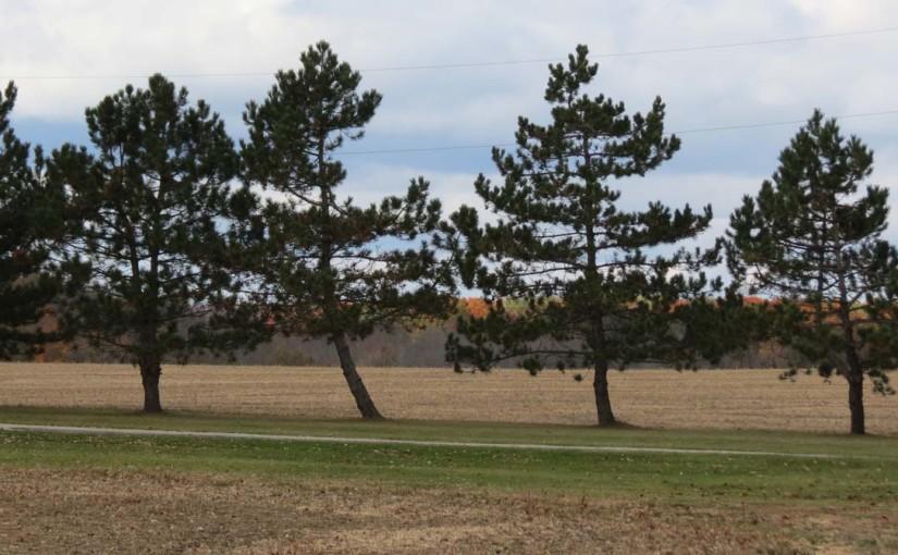 Fila del árbol de pino