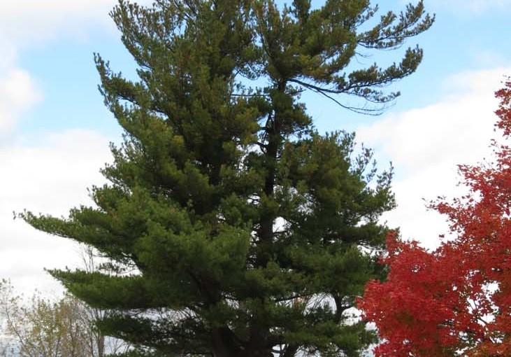 Pine Tree Hvite Arter