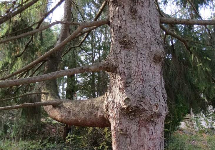 شجرة التنوب شجرة النرويج