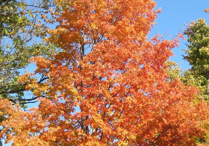 سكر القيقب شجرة الخريف