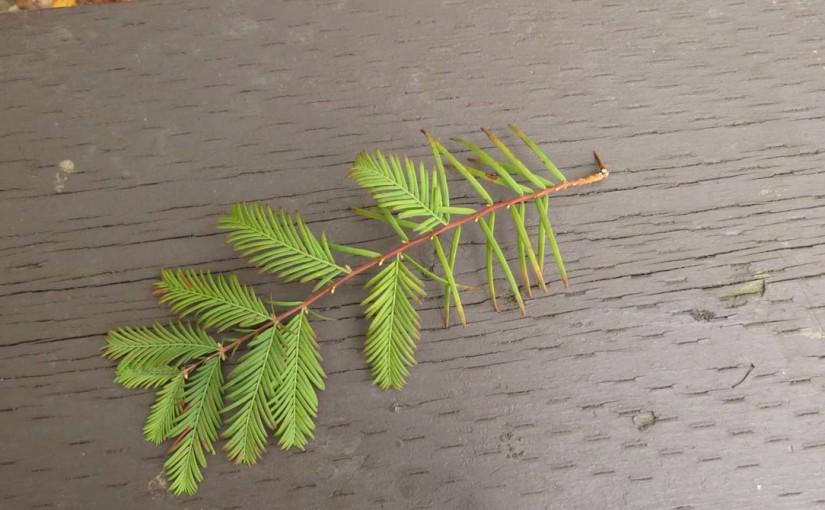 Dawn Redwood Branch