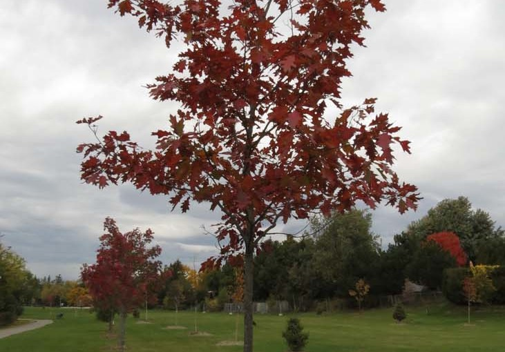 Tre Type: Red Oak