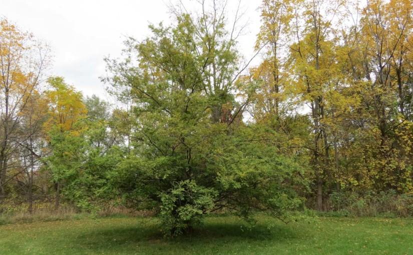 فجر شجرة الخشب الأحمر