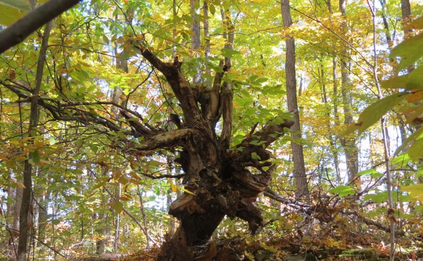 Tocón de árbol viejo