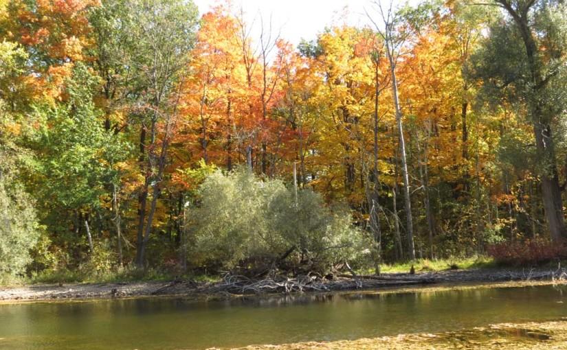 Saule arbre automne