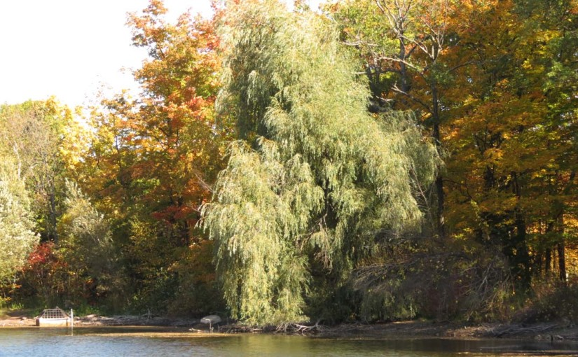 شجرة الصفصاف