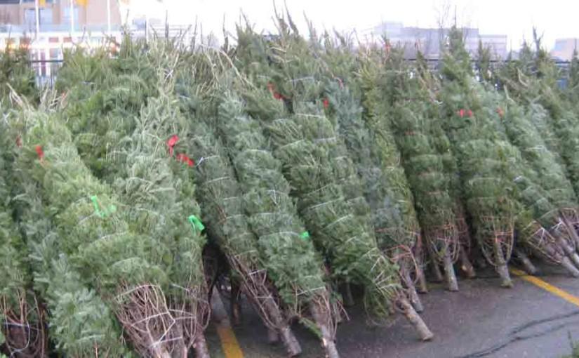 Juletrær Balsam Fir