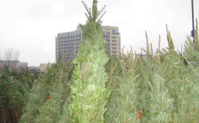 Xmas trær til salgs