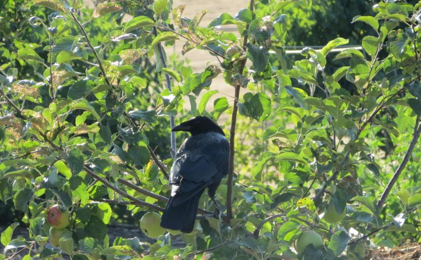 Apple Tree og Black Crow