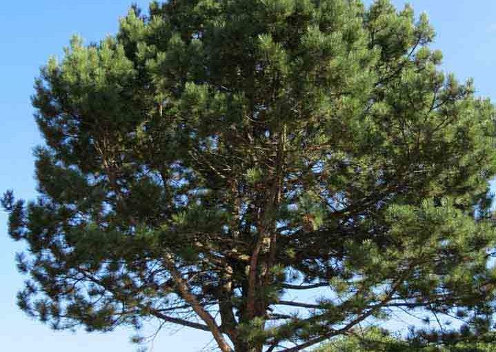 Østerriksk Pine Tree