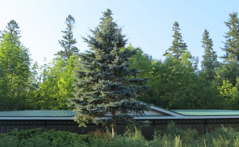 ماذا تبدو شجرة التنوب الأزرق؟