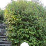 Lilac type Trær