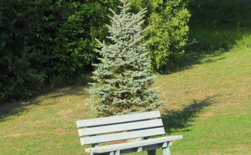 الأزرق شجرة التنوب