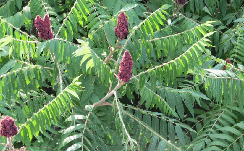 گل های درخت سوماک