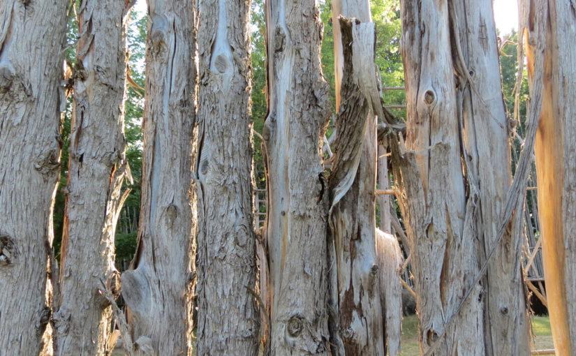 الارز الابيض شجرة البولنديه