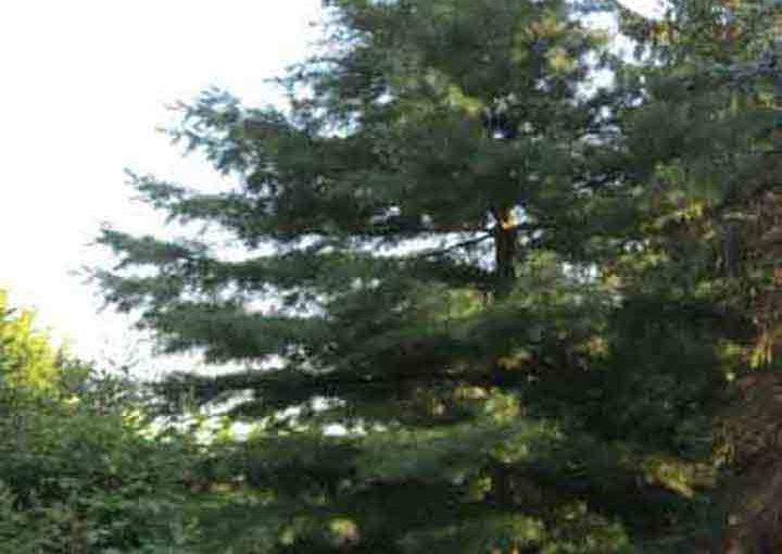 شجرة صنوبر أبيض