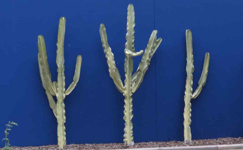 Cactus Bilde
