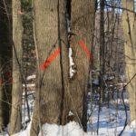 أمراض أشجار الدردار