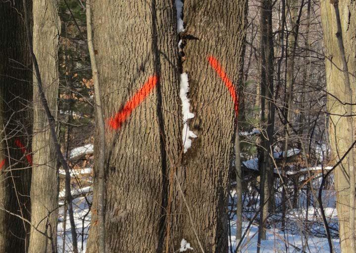 أشجار الدردار