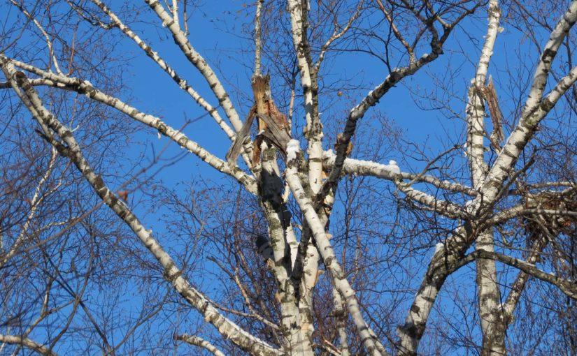 Branches de bouleau