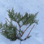 Cedar Tree Dail