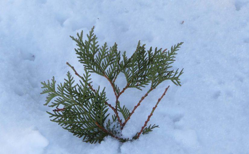 Cedar tre blader