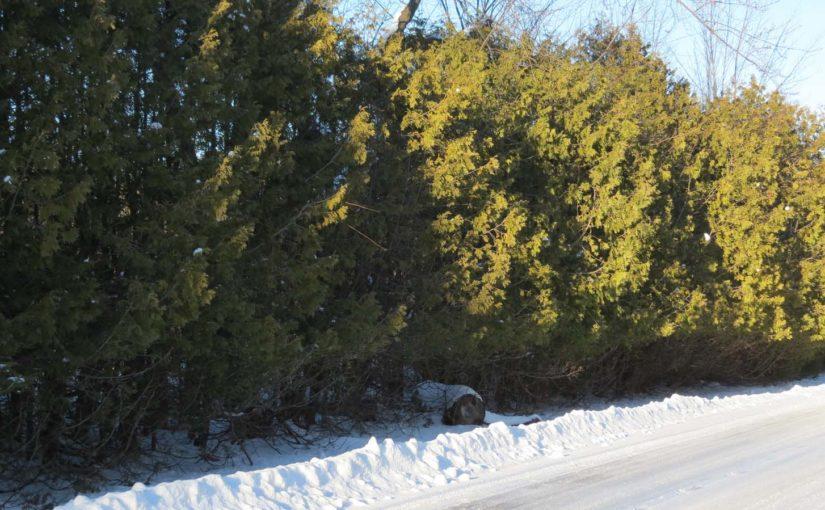 Cedar Tree Wind Break