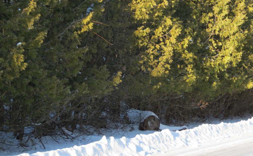 Moden Cedar Tree Hedge