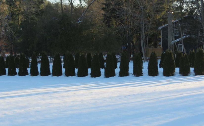 Cedar Tree Row