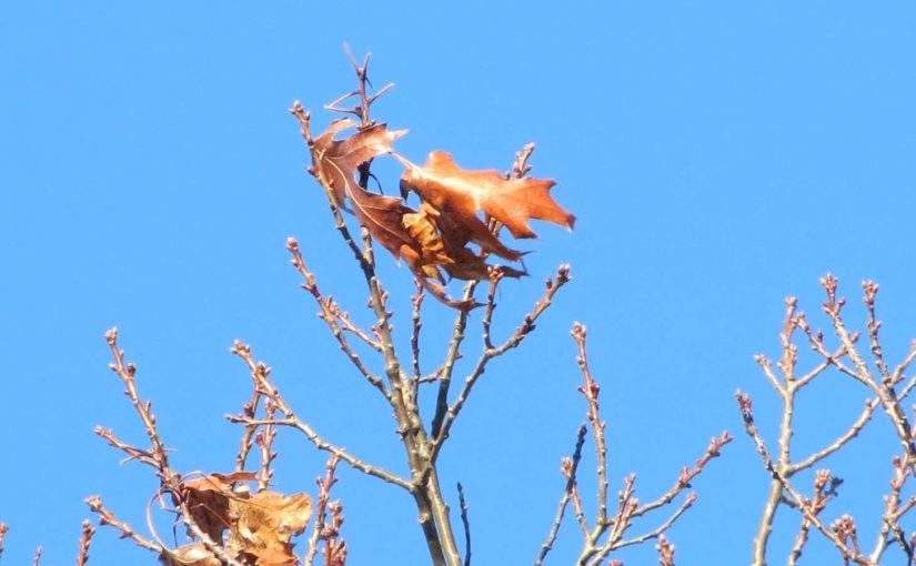 البلوط ورقة شجرة في فصل الشتاء