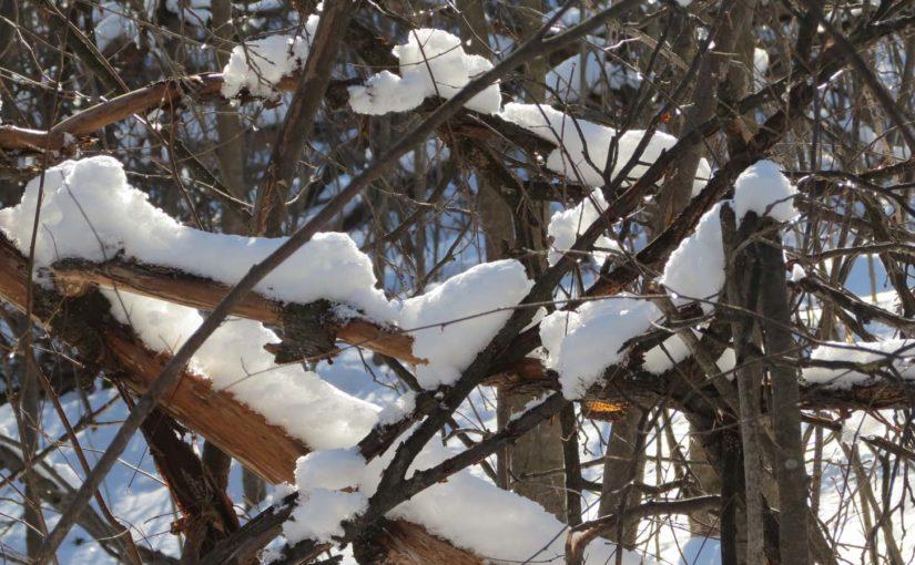 snødekte Grener