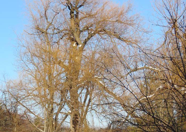 À quoi ressemble un arbre de saule?