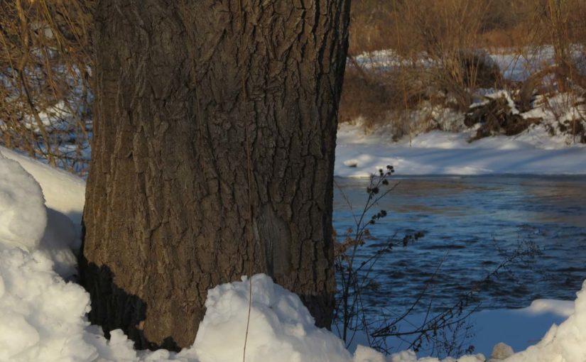 Willow Tree Bark Image