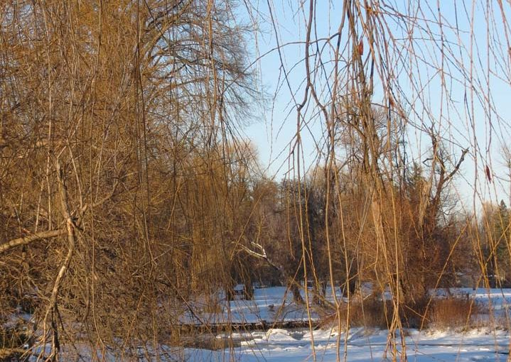 شجرة الصفصاف الفروع