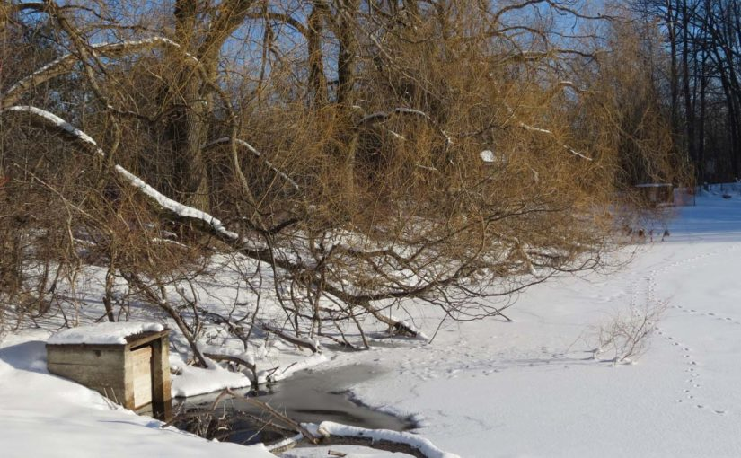 الأشجار الصفصاف في الشتاء