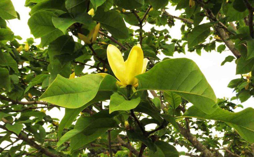 Magnoliaceae أصفر