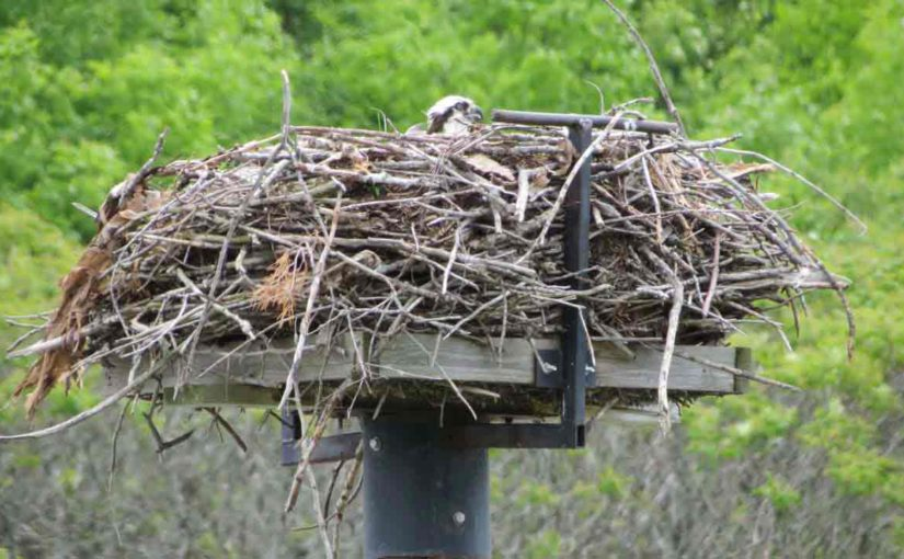 Osprey Wood Stick Nest