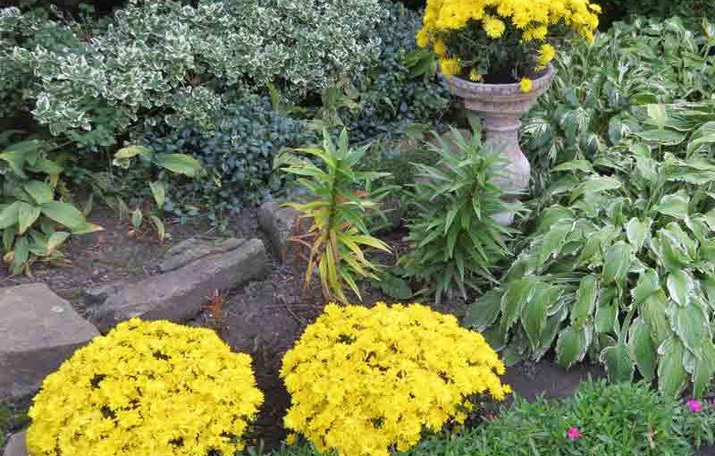 Hagearbeid med høstmumblomster