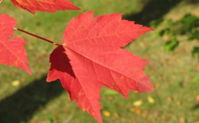 أحمر مابل ليف شجرة