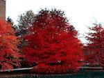 imagem da árvore de tupelo negro