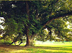 Walnut Tree Pictures - Matang Walnut Tree Tawaran Banyak Shade