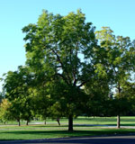 Walnut Tree, Picture of Large Walnut Tree i Summer