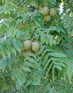 Walnüsse, Fruit of the Walnut Tree