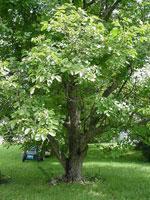 Walnut Tree Typen, Englisch Walnut Tree